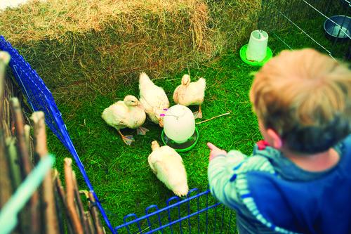 Spring Farmyard Ducklings
