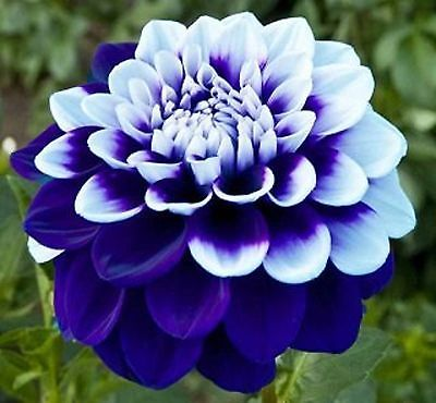 What flowers you should plant for summer: dahlia | Butlins Blog
