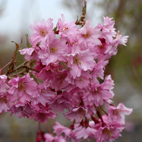 Fukubana-Flowering-Cherry-Tree_large