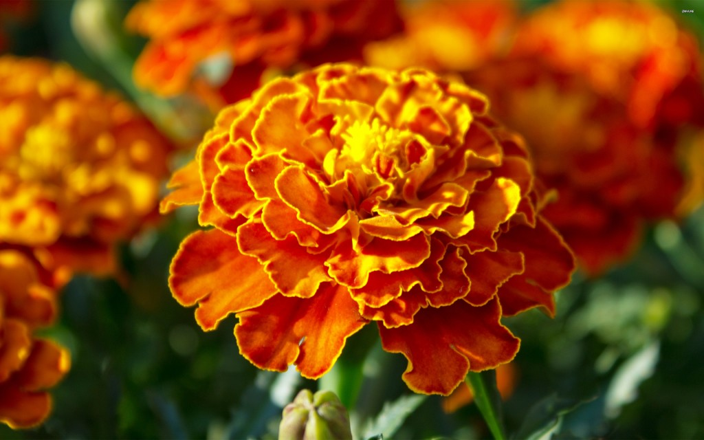 What flowers you should plant for summer: marigold tagetes | Butlins Blog